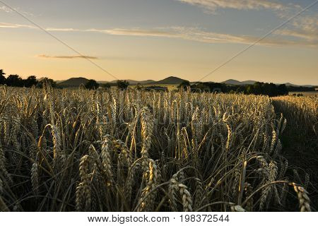 Clear blue sky over the corn field, which is brighten by shaft from the sun. Sunny landscape.