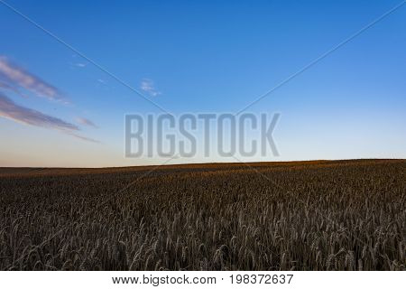 Clear blue sky over the corn field, which is brighten by shaft from the sun. Sunny nature.
