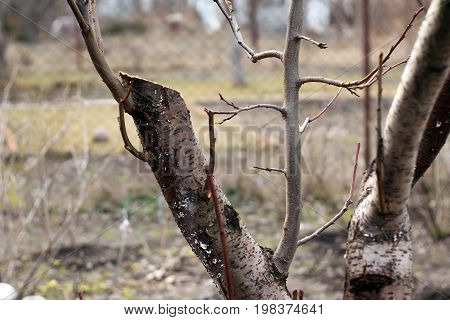Rejuvenating pruning of old fruit tree - plum. Close up. On cut of old trunk young twigs are visible. They grew up after pruning. These young twigs will be new skeletal branches of rejuvenated tree.