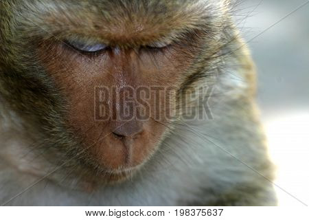 Macaques constitute a genus (Macaca) of Old World monkeys of the subfamily Cercopithecinae. The 23 species of macaques are widespread over Earth.