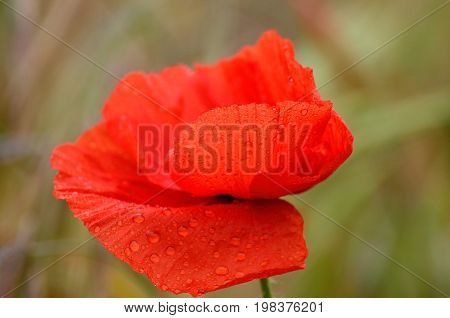 Colorful red poppy with small rain water drops