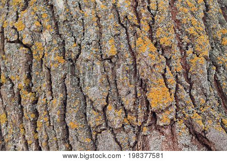 Background from texture of poplar bark with lichen. Close up. There are deep coarse cracks and yellow lichen.