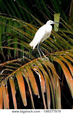 A Thai Egret. An egret is any of several herons, most of which are white or buff, and several of which develop fine plumes during the breeding season.