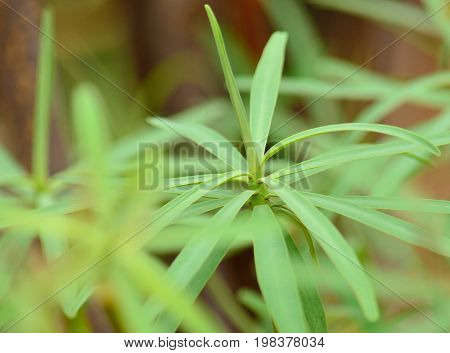 Green branch of euphorbia, wild plant of Canary islands