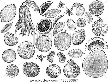 Citrus collection illustration, drawing, engraving, ink, line art