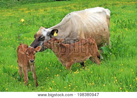Cow and her calves in a field