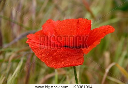 Beautiful red poppy with small rain drops