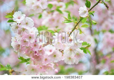 The late varieties of Japanese Sakura that grow in northern Europe