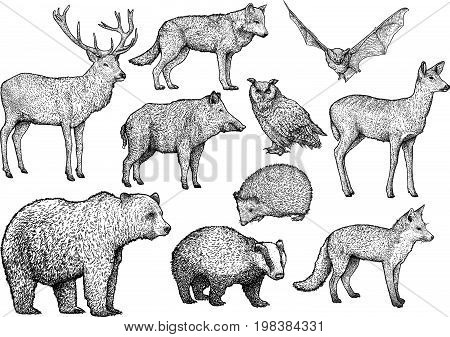 Forest animal illustration, drawing, engraving, ink, line art
