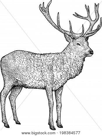 Deer illustration, drawing, engraving, ink, line art