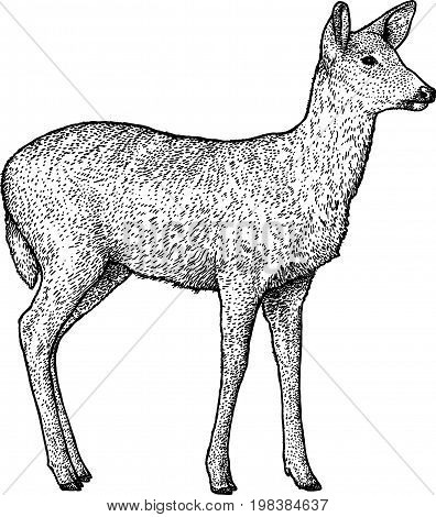 Roe deer illustration, drawing, engraving, ink, line art