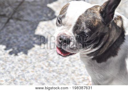 French bulldog unaware dog or tired dog
