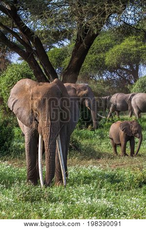 Portrait of african elephant with long tusks. Kenya, Africa