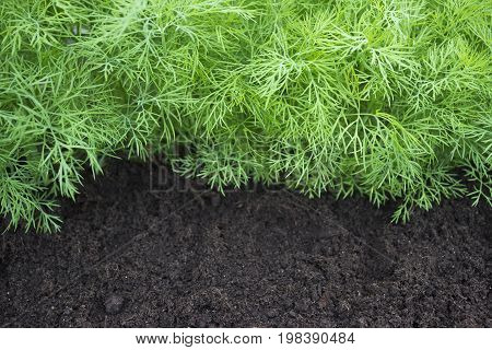 Antioxidant kitchen herbs on the eco farm garden bed. Selective soft focus. Photo of dill harvest for eco cookery business. Young dill plants on the kitchen garden. Organic food fresh spice on soil