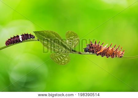 Aristolochia Pothieri Pierre Ex Lecomte Leaf