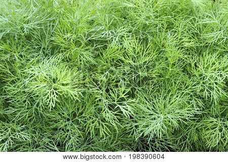 Young dill plants on the kitchen garden. Photo of dill harvest for eco cookery business. Selective soft focus. Antioxidant kitchen herbs on the eco farm garden bed. Organic food fresh spice on soil.