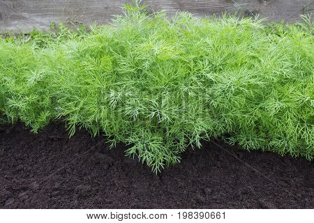 Photo of dill harvest for eco cookery business. Young dill plants on the kitchen garden. Organic food fresh spice. Antioxidant kitchen herbs on the eco farm garden bed. Selective soft focus