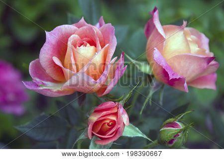 Delightful pink peach floribunda rose bush named Briosa in the garden. Blooming in spring and summer. Garden landscape