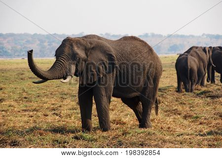 An african Elephant is standing on a yellow meadow with his trunk up next to a group of other elephants in Chobe NP in Botswana