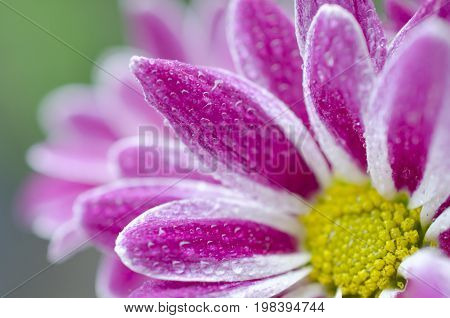 Macro shot of petals of beautiful chrysanthemum flowers covered with morning dew (very shallow DOF selective focus on the drops of dew)
