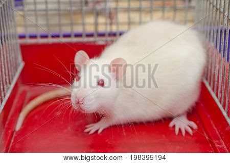 White laboratory rat sitting in a cage