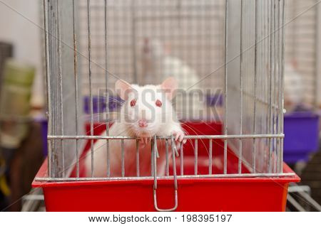 Curious white laboratory rat looking out of a cage in a laboratory (selective focus on the rat eyes)