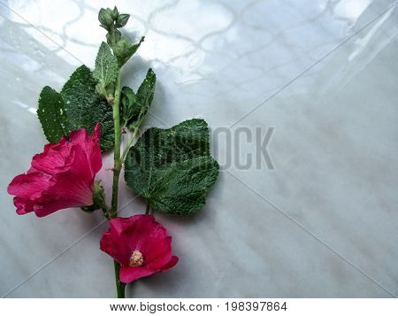 Floral background - one branch with two beautiful bright pink flowers of the Malva arborea isolated on a gray background. Photo with Lavatera arborea also known as Malva eriocalyx can be used as a flower frame