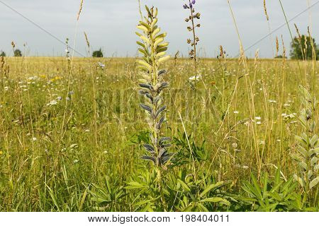 Vicia cracca tufted vetch, cow vetch. Perennial herb