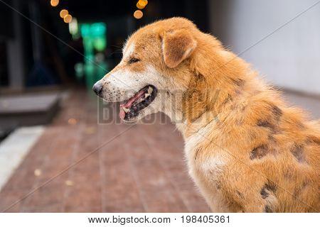 Close-up of Stray dog skin disease. Leprous dog.