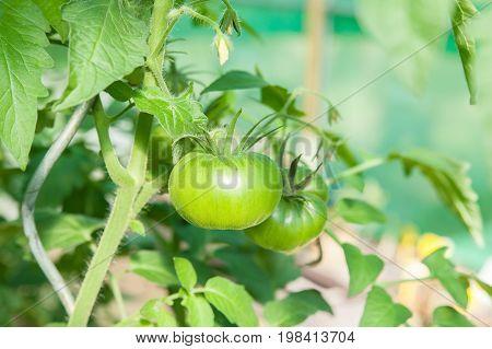 fresh Organic green tomatoes in a greenhouse