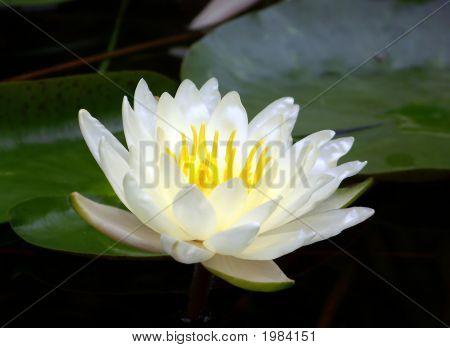 White Waterlily Blossom