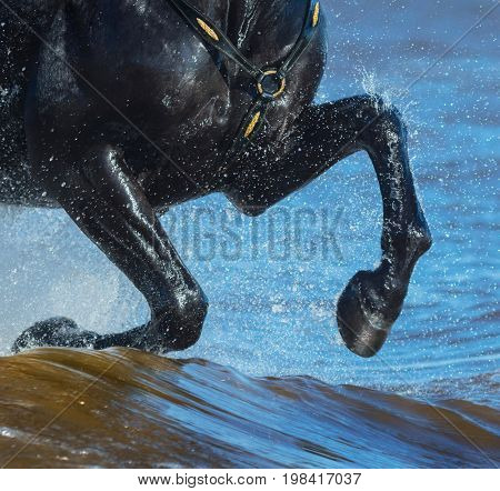 Black horse run gallop on water. Legs of horse close up with splashes.