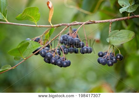 Aronia berries (Aronia melanocarpa, Black Chokeberry) growing in the garden. Branch filled with aronia berries.