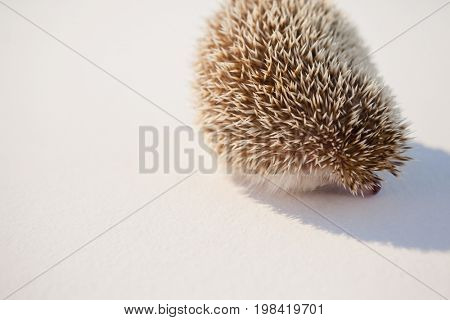 Close-up of porcupine on white background
