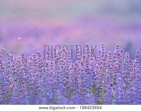 lavender flowers on field in summer