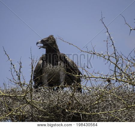 Martial Eagle panting with it tongue out, after a catch in its talons on its nest,in Serengeti National Park, Tanzania