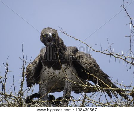 Martial Eagle panting with it tongue out and looking at camera, with its prey in its talons on its nest,in Serengeti National Park, Tanzania