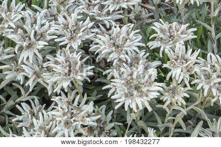 closeup shot of some dense Edelweiss vegetation