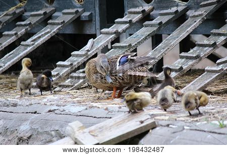 A family of duck and the ducklings on a farm