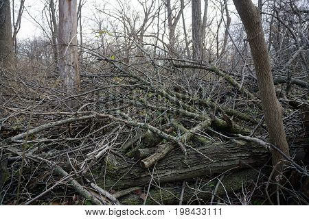 Fallen logs and branches lie on the forest floor of the Hammel Woods Forest Preserve in Shorewood, Illinois, during December.