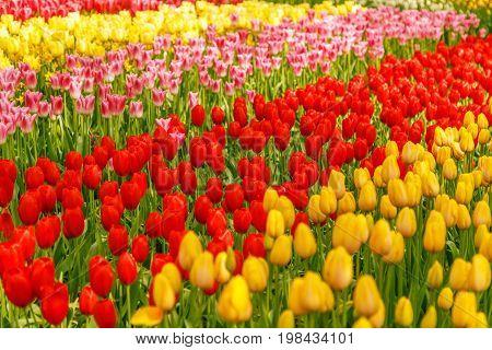 Beautiful flowers background selective focus, Keukenhof, Netherlands.