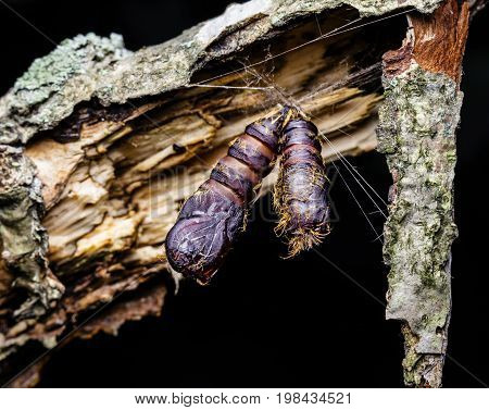 Gypsy moth caterpillar cocoons hanging from a tree limp that they have infested.
