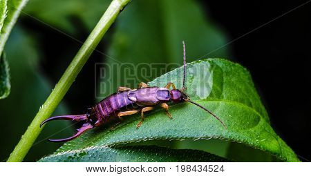 Earwig bug with six legs and large pincers sits on a green leaf in a backyard flower garden