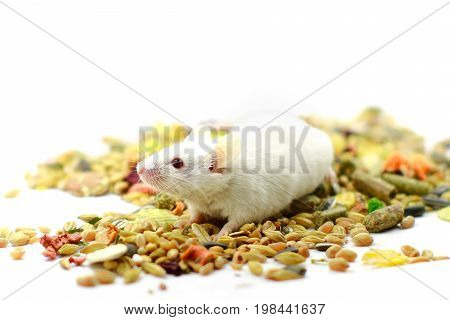 Laboratory mouse sitting over corn isolated on white