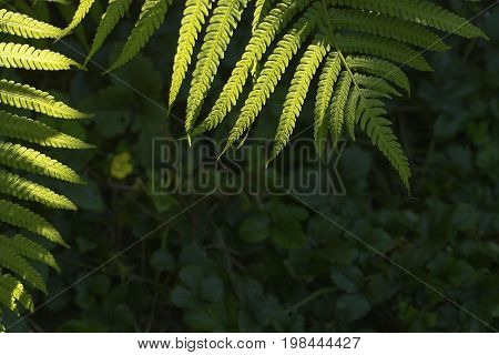Fern leaf green foliage a natural plant background in the form of a frame in the sunlight with copy-space
