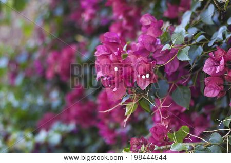 Pink bougainvillea flowers with shallow depth of field.