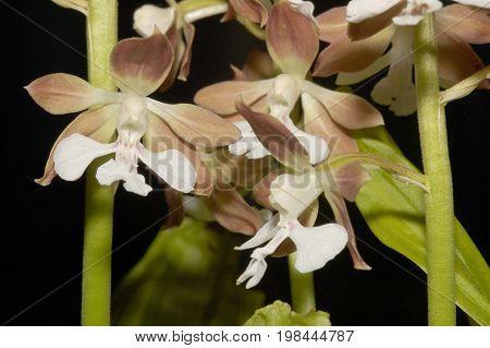 Calanthe discolor Orchid flowers  against black background