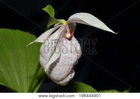Formosa Lady's Slipper Orchid