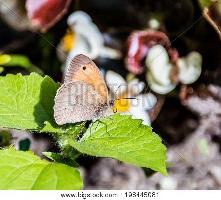 Aphantopus hyperantus brown ringlet butterfly on a purple flower.