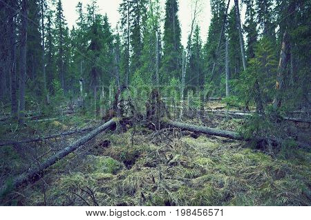 Windbreak in taiga forestfelled trees,  russia  landscape